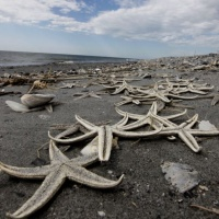 Starfish are seen washed ashore on the Chandeleur Islands, home of the Breton National Wildlife Refuge, is seen off the Southeastern coast of Lousiana, Tuesday, April 27, 2010. The barrier islands are at risk from a growing oil spill and leak in the Gulf of Mexico caused by the explosion and sinking of the Deepwater Horizon oil rig last week. (AP Photo/Gerald Herbert)